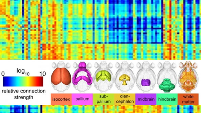 New mouse brain map may illuminate origins of mental illnesses