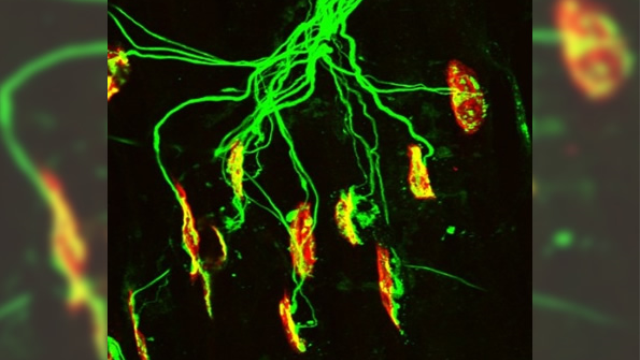 Glutamate plays previously unknown role in neuromuscular development