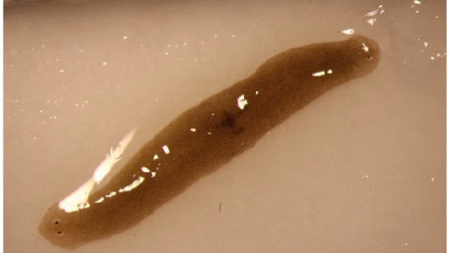 Space-traveling Flatworms Enhance Understanding of Regenerative Health