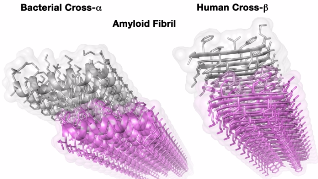 Staphylococcus Aureus Uses Amyloid Fibrils to Attack Cells