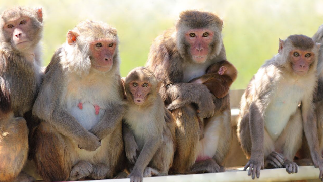 Successful Vasalgel™ Trial In Monkeys