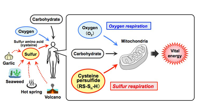 Sulfur Respiration in Mammals