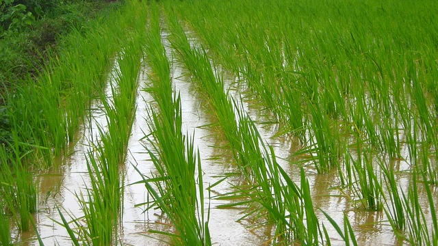Swapping Crops Could Save Water and Improve Nutrition