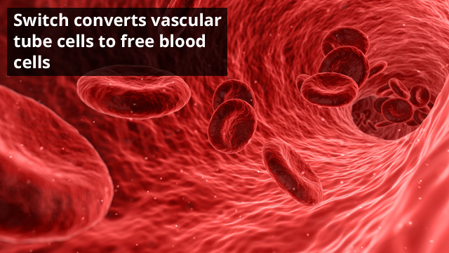 Switch Discovered to Convert Blood Vessels to Blood Stem Cells During Embryonic Development