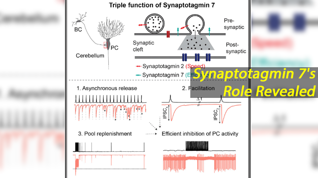 Synaptotagmin 7 Ensures Efficiency of Inhibitory Signal Transmission