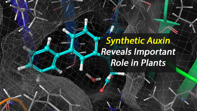Synthetic Auxin Reveals Importance In Plants