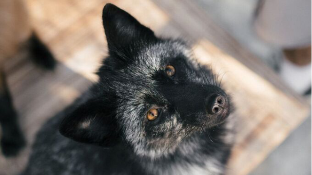 Taming the Fox Genome