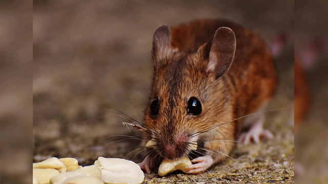 Targeting Cold and Nicotine Receptors Slims Obese Mice