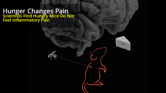 The Mouse Brain Can Prioritize Hunger by Suppressing Pain When Survival is at Stake