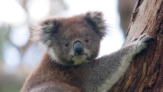 The Secrets of the Koala Genome
