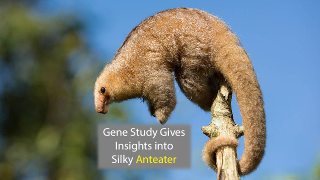 The Silky Seven: Genetic Analysis Reveals Anteater Species Diversity