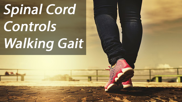 The Spinal Cord Controls Walking Gait