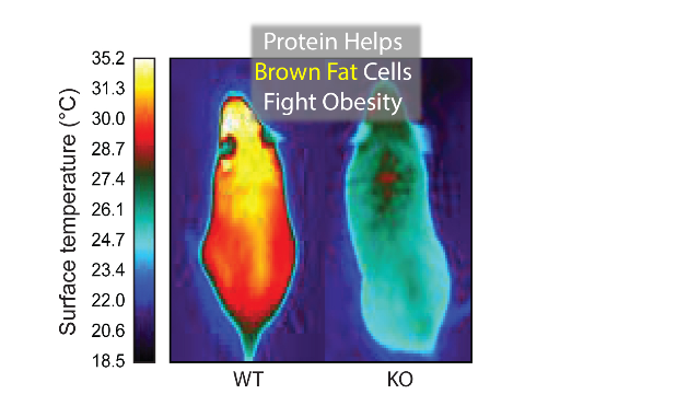 This Protein Can Help Fat Cells Fight Obesity