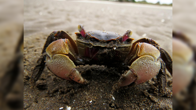 Through the Eyes of the Crab: Binocular processing of object motion in the crustacean