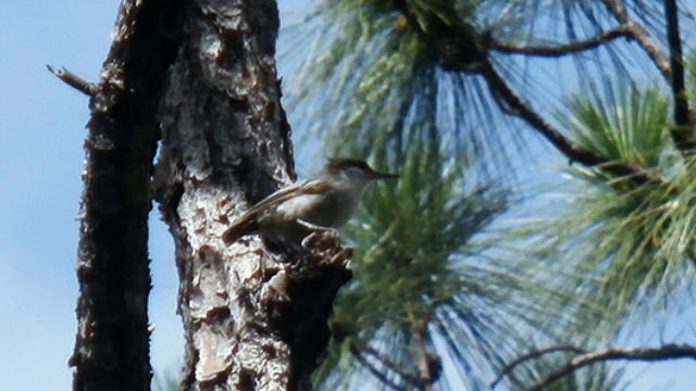 To Catch a Nuthatch: Rare Bird Rediscovered in Bahamas