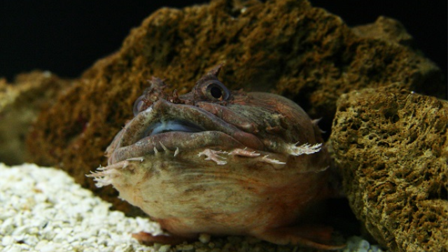 Toadfish study finds protons act directly as nonquantal neurotransmitters in concert with classical neurotransmission mechanisms