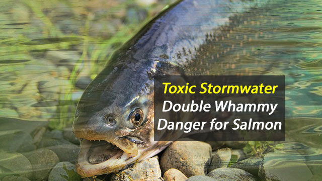 Toxic Stormwater Kills and Debilitates Salmon