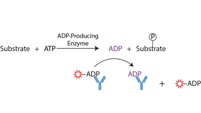 Transcreener ADP² Kinase Assay