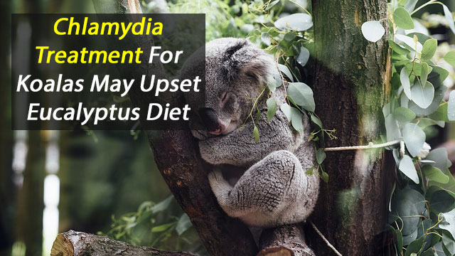 Treating Koalas for Chlamydia Alters Gut Microbes