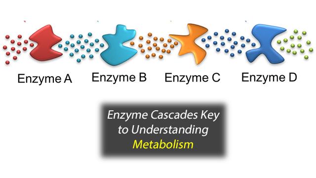 Understanding Enzyme Cascades Key to Understanding Metabolism