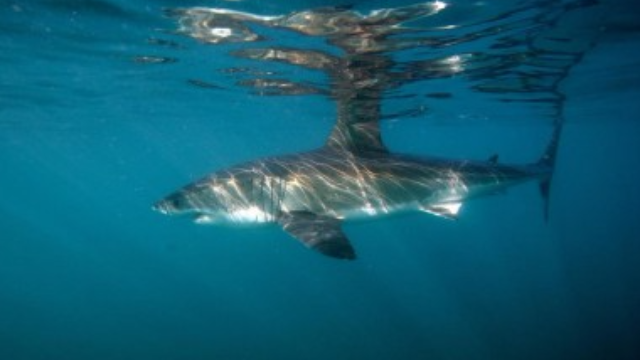 Unique Modifications in Shark Immunity Genes Uncovered