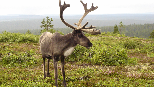 Unwrapping the Reindeer Genome Reveals Evolutionary Secrets