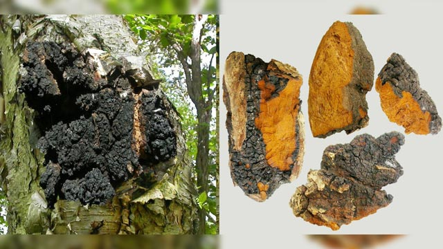 Using Mushrooms of the Far East to Design Novel Anti-Cancer Drugs
