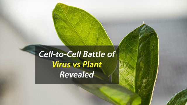 Virus-Plant Battle Revealed at Cell Level