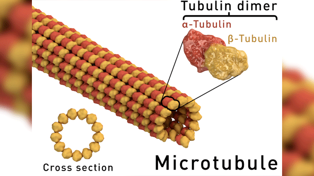 "Visualizing ""Unfurling"" Microtubule Growth"