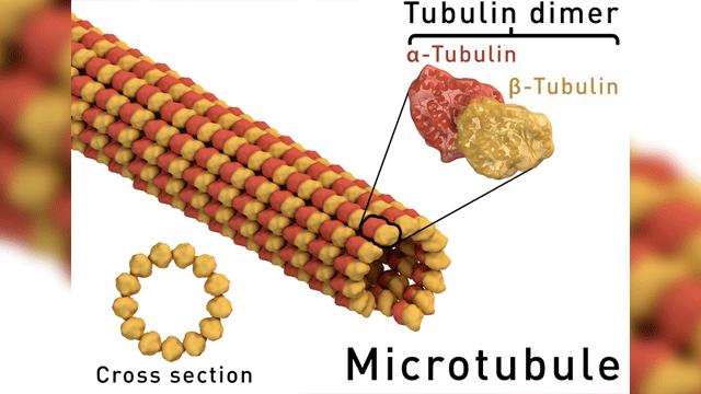 "Visualizing ""Unfurling"" Microtubule Growth"