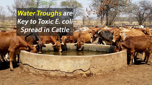 Water Troughs Key to E. coli Spread in Cattle