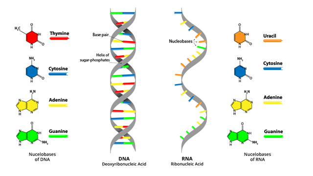 DNA vs. RNA – 5 Key Differences and Comparison
