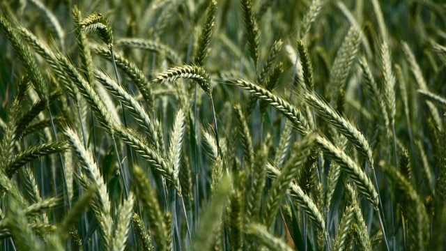 What's in Your Wheat? Sequencing One of the Most Complex Genomes Known to Science