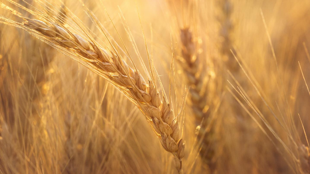 Wheat Genome Cracked at Last