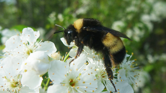 Why are Bumblebees Going Extinct?