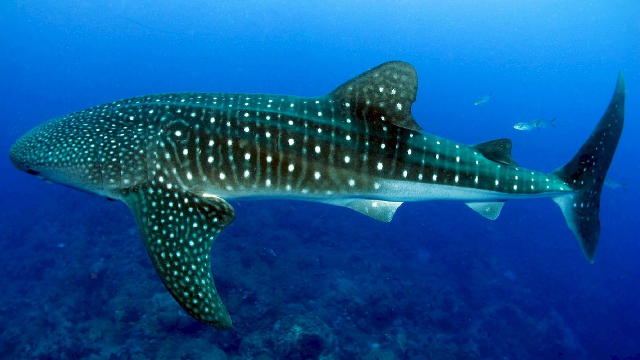 "Why Sharks are Genomic ""Living Fossils"""