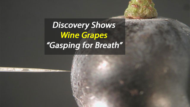 """Wine Grapes """"Gasp for Breath"""" in Low Oxygen"""