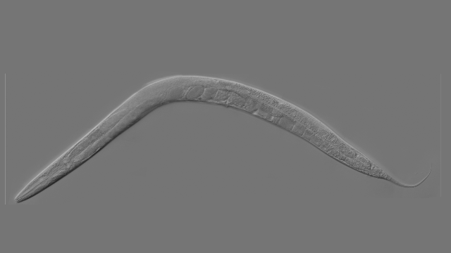 Worm Study Shows How Genes Drive Aging