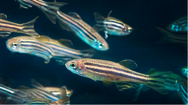 Zebrafish Unlock Mystery of Motor Neurone Disease
