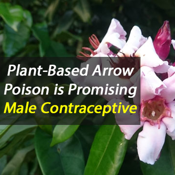 Arrow Poison Potential Male Birth Control