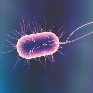 Blood Brain Barrier Weakened by Intestinal Gut Bacteria