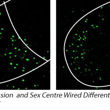 Brain Aggression and Sex Centre Wired Differently in Males and Females