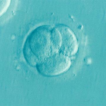 Breakthrough in Growing Human Embryos