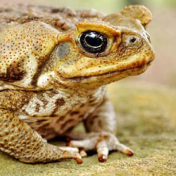 Cane Toad DNA Sequenced