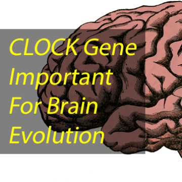 CLOCK Gene May Hold Answers to Human Brain Evolution