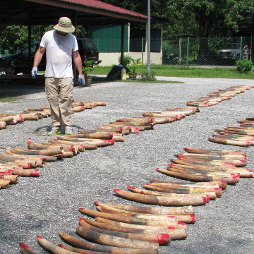 DNA Traces Illegal Ivory Shipments Back to Major Cartels