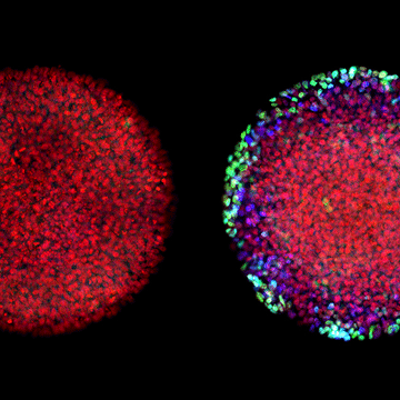 Embryonic 'Signaling Memory' Permanently Alters Differentiation Pathway