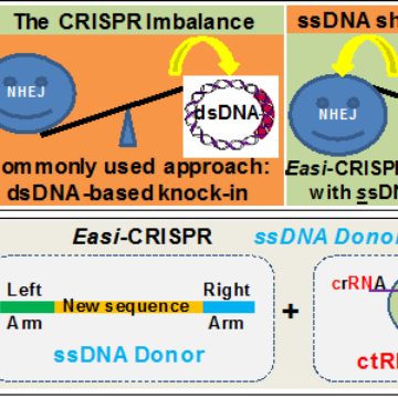 Fine-tuning CRISPR to Create Popular Mouse Models