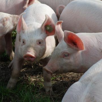 Gene-edited Pigs are Resistant to Billion-dollar Virus