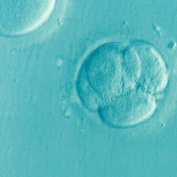 Gene Involved in Embryo Development Identified Using CRISPR/Cas9